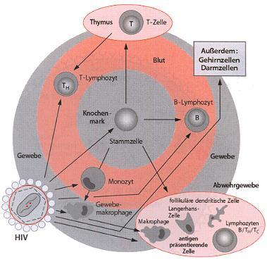 Abbildung der Zielzellen für HIV
